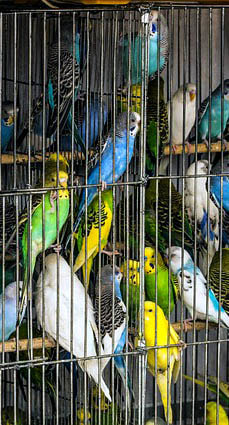 Parakeets Budgies Picture
