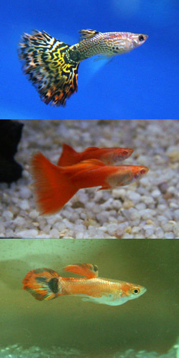 Different Breeds of Guppies Picture