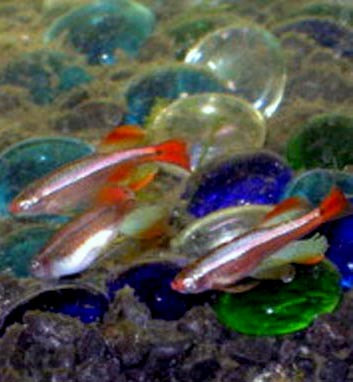 White Cloud Mountain Minnow Picture