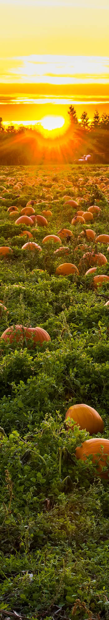 Pick Your Own Pumpkin Field Picture