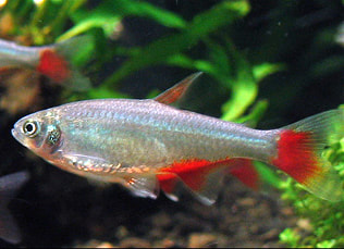 Bloodfin Tetra Picture