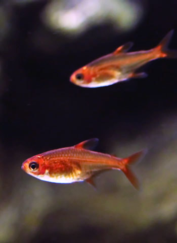 Ember Tetra Picture